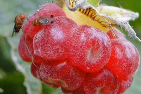 Two spotted winged drosophila on berry