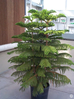Norfolk Island Pine North Carolina Cooperative Extension