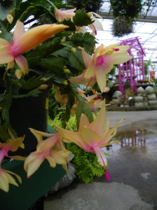 The exotic flowers holiday cactus produces blooms that in shades of white, red, magenta, pink, and peach.