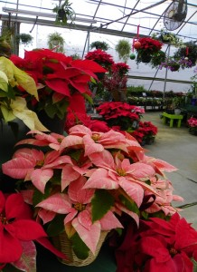 Poinsettias are available in many different colors.