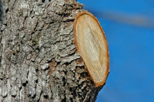 A proper pruning cut preserves the branch collar and is not flush with the trunk. Image source: http://www.growingagreenerworld.com