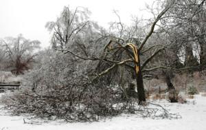 Ice damaged tree.