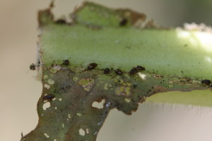 Adult flea beetles congregating on base of a tobacco leaf. Photo: H.J. Burrack