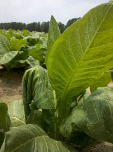 Tobacco plant with leaf injured by stink bug feeding, Raeford, NC. Photo: H. J. Burrack