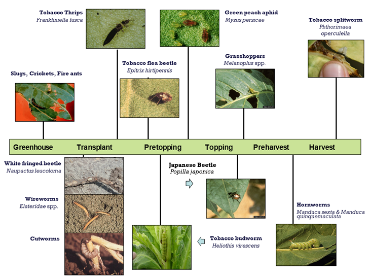 Timeline showing key pests for tobacco from Greenhouse to Harvest