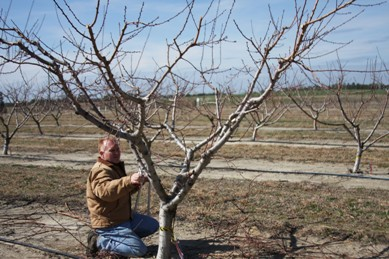 Properly pruning a mature peach tree is an important spring chore for homeowners.