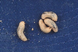 White-fringed beetle larvae.  Photo: S. Southern