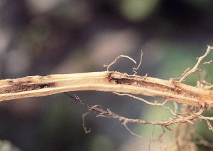 Wireworm damage on a tobacco stalk. Photo: S. Southern
