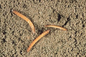 Wireworms, the click-beetle larvae, live in the soil. Photo: S. Southern