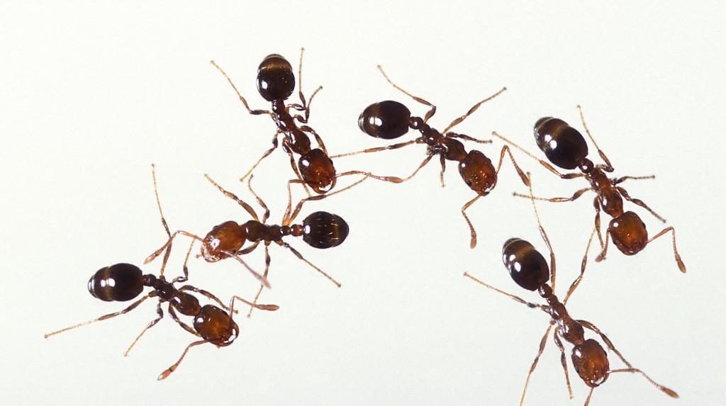 مورچه آتش  fire ant