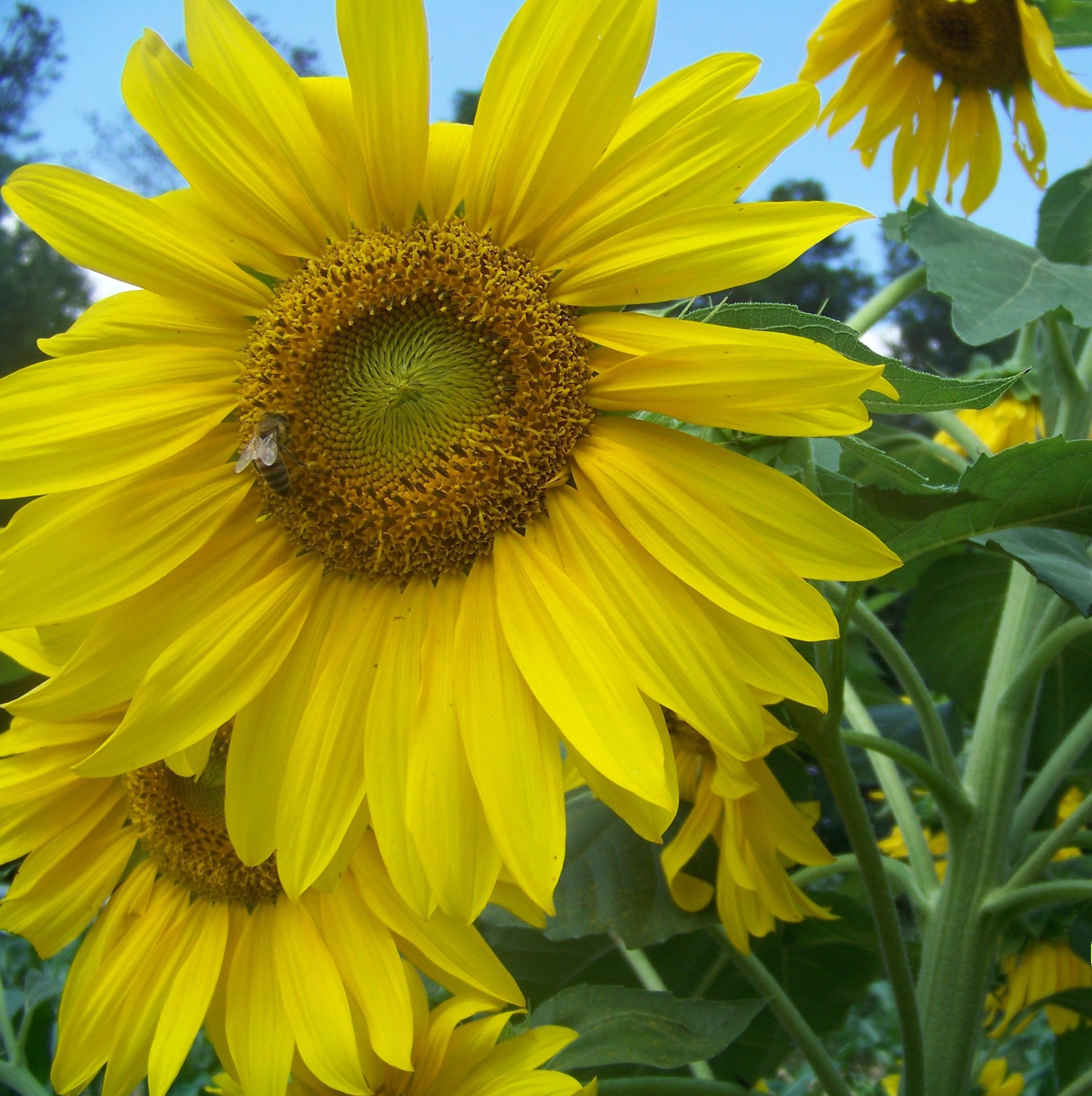Swamp Sunflower Makes A Good Landscape Plant North Carolina