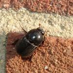 Sugarcane Beetle on brick wall