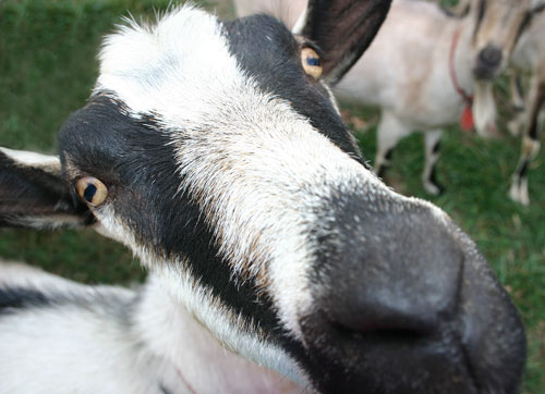 Web Resources: Small-Scale Livestock | NC State Extension