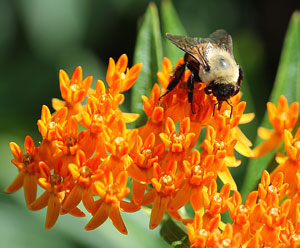 bee on Asclepias tuberosa