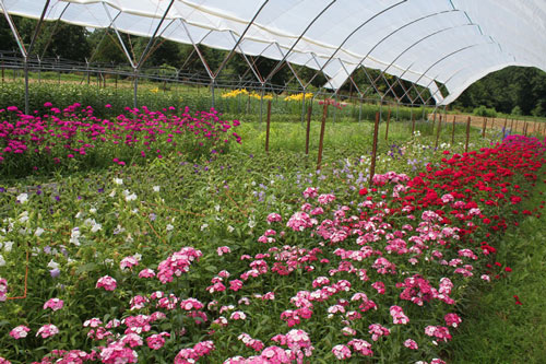 Cut flower crops in Haygrove tunnels at Peregrine Farm.