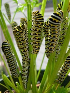 Black swallowtail caterpillars feeding on parsley.