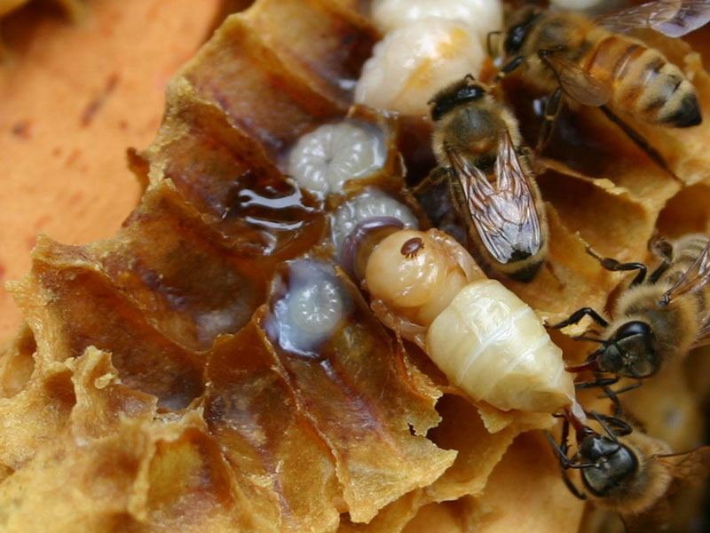 Varroa mite on honey bee pupa. Photo by Debbie Roos.