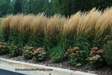 The gardener s dirt september 2012 north carolina for Tall ornamental grasses for screening