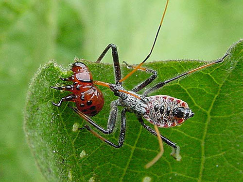 Assassin bug nymph feeding on Colorado potato beetle larva