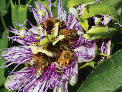 honey-bees-passionflower_2747_JPC