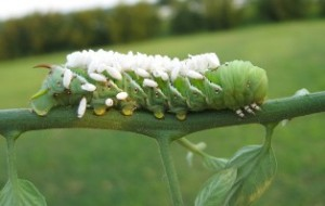 Caterpillar covered in parasitic wasp cocoons.