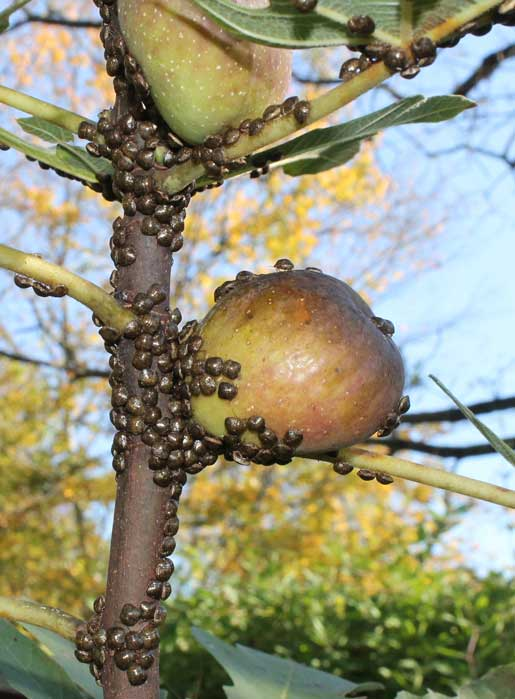 Kudzu bugs on fig