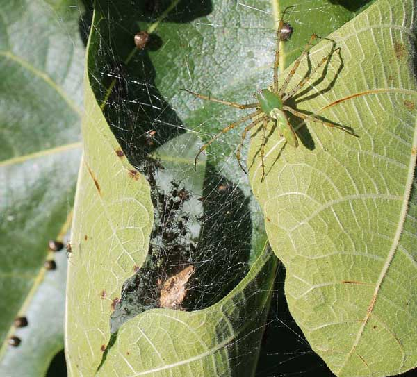 Green lynx spider and spiderlings with kudzu bugs