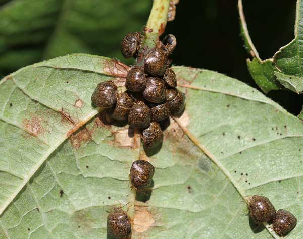 Kudzu bugs on pole bean
