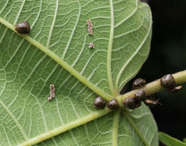 Kudzu Bug North Carolina Cooperative Extension