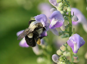 Bumble bee on skullcap
