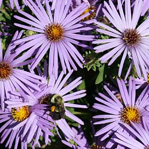 'Raydon's Favorite' aromatic aster