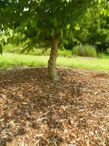 Mulch around tree