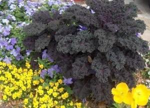 Redbor kale with yellow violas