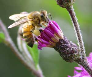 honey bee on ironweed