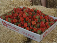Box of Chandler strawberries
