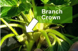 Strawberry plant branch crown