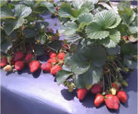 Camarosa strawberry plants fruiting in field