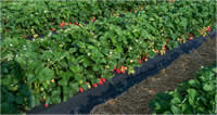 Chandler strawberry plants fruiting in field