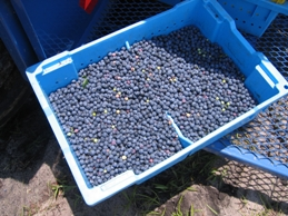 Blueberry growers practice fresh produce safety from the field to the shelf.