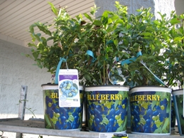 Blueberry bushes available at local retailer