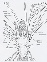 Diagram of strawberry crown