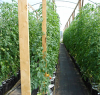 Staked tomato plants in greenhouse