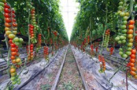 rows of hydroponically grown tomatoe plants