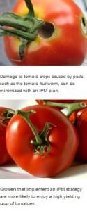damaged and undamaged tomatoes