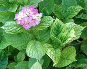 Iron chlorosis on hydrangea caused by high soil pH