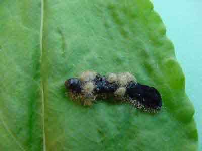 Fall armyworm ectoparasite (Euplectrus sp.)