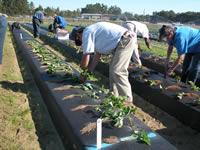 People planting fresh dugs