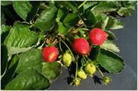Sweet Charlie strawberries fruiting in field