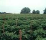 Field of staked tomatoes