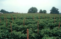 Tomato Field Production | NC State Extension